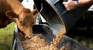 Cattle being fed grain at the Beef Teaching Unit.