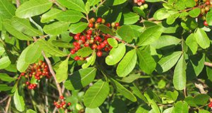 Brazilian Peppertree. Image used in the 2014 Research Discoveries report.