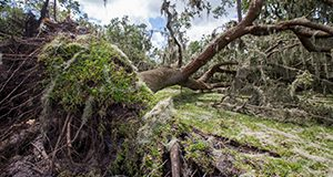 Two oak trees downed due to Hurricane Irma. Photo taken 09-14-17