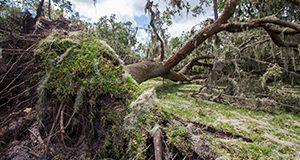 Two oak trees downed due to Hurricane Irma. Photo taken 09-14-17