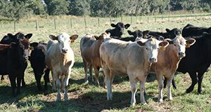 "Young heifers at the Range Cattle Research Station. These beef cows are all at least 3/4 Angus. They are part of an attempt to create a white Angus breed. During the summer the white cows, coined ""white Angus"" by the researchers in Ona, have a body temperature that is one degree cooler than the traditional black Angus. UF/IFAS Photo: Sally Lanigan."