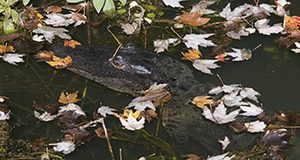 An alligator in water with fallen leaves surrounding it.  Photo taken 12-19-17.