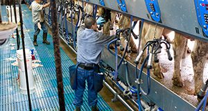 Shenandoah Dairy Farm employees milking cows in the milking parlour. Milk production. UF/IFAS Photo by Tyler Jones.