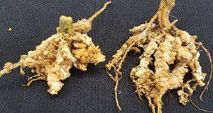 Meloidogyne javanica root gall symptoms on cucumber, UF/
