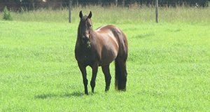 Horse grazing bermudagrass.