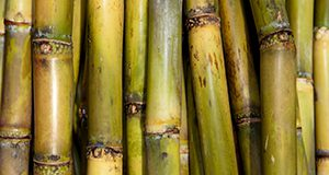 Sugar Cane stalks. UF/IFAS Photo by Tyler Jones.