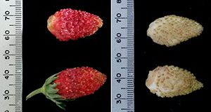 Examples of red and white Alpine strawberry fruit types. Some varieties are naturally calyx-free when harvested. Note: 25 mm is ~1 inch.