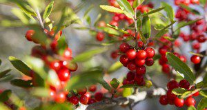 Hollies are known for their woody branches and vibrant red berries