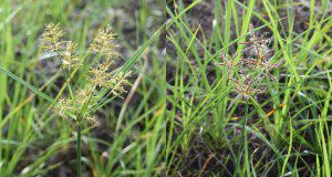 Yellow nutsedge inflorescence (left) and purple nutsedge inflorescence (right).