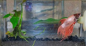 male betta in a small aquarium; photo by Sandy Moore
