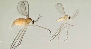 Adult blueberry gall midge (female?left, male?right).