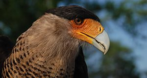 The distinct yellow-orange face and black crest of the northern crested caracara. Isabel Gottlieb