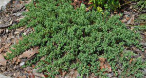 Dwarf Japanese juniper (Juniperus horizontalis) (also called creeping juniper) is used as a groundcover.