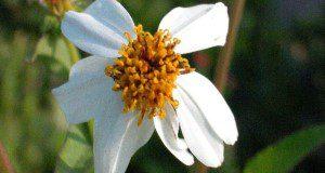 Bidens alba flower