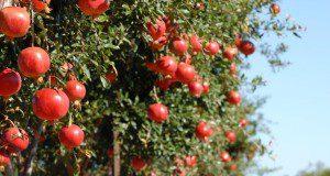 Árbol de granada ('Wonderful' cv.)