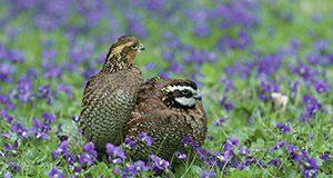quail Steve Maslowski, USFWS