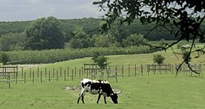 Cows grazing in a field. UF/IFAS file photo