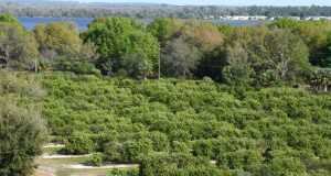 A University of Florida orange grove in Lake Alfred, FL
