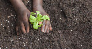 A child's hands planting a vegetable in the soil. Photo taken December 5th, 2015. UF/IFAS Photo by Tyler Jones