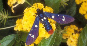 A polka-dot wasp moth. Credit: James Castner, UF/IFAS