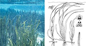 Tapegrass, Vallisneria americana. a) Tapegrass underwater meadow. b) Illustrations of male and female plants.