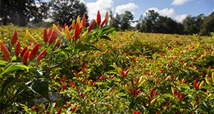 Red chili peppers growing on the bush. Photo taken 09-13-18.