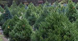 Uncut Christmas trees at tree farm in Florida Marisol Amador