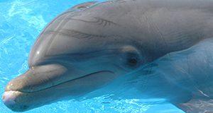 Dolphin closeup.