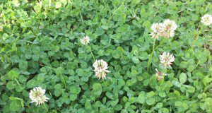 White clover, a member of the Fabaceae family.