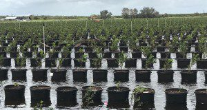Flooded blueberry container production after Hurricane Irma