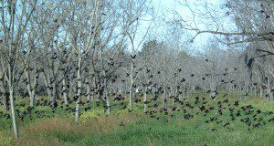 A flock of Red-Winged Blackbirds fly in a pecan grove durring a winter's morning ,Clay county. (UF/IFAS Photo by: Josh Wickham)