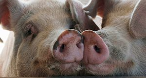 Two pigs nosing each other.
