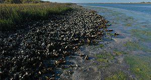 Exposed oyster beds at low tide along the shoreline at Anastasia State Park in Northeast Florida. Oyster beds, mollusks, shellfish, coastline, state parks. UF/IFAS Photo: Josh Wickham.