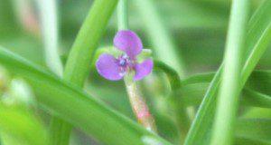 Doveweed flower