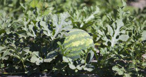 A watermelon sits among leaves in the sun. Photo taken on 05-10-17.