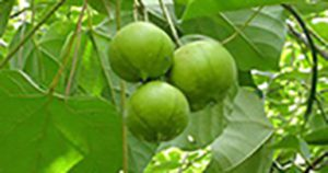 tung tree fruit