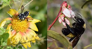 Left to right, photos of a blanketflower and blueberry flowers with native bees.
