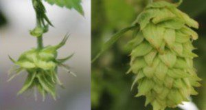 Hop cone formation. Left: newly formed hop burr. Right: mature hop cone.