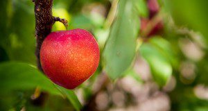 Ripe peach on a peach tree