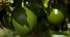 Avocados growing on a tree. Avocado fruit. UF/IFAS Photo by Tyler Jones.