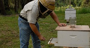 A beekeeper in protective headgear checks a sticky board placed at the bottom of a honey bee hive to catch falling Varroa mites.