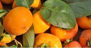 'Matsumoto Wase Fuyu' persimmon cultivar