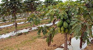 Fruiting papaya trees at the Tropical Research and Education Center in Homestead, FL. UF/IFAS Photo: Thomas Wright.