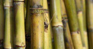 Sugar Cane stalks. UF/IFAS Photo by Tyler Jones.