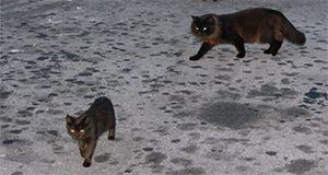 two feral cats in a parking lot.
