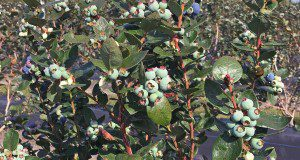 Kestrel blueberries. Credit: Douglas A. Phillips, UF/IFAS