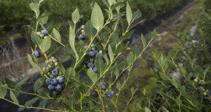 FL06-556 blueberry variety. UF/IFAS photo by Tyler Jones.
