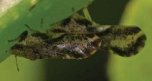 Closeup of an adult Asian citrus psyllid feeding on a leaf.