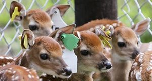 A photo of a group of fawns with yellow and green ear tags