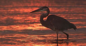 A photo of a great blue heron wading at either sunrise or sunset.